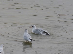 44 35 Mouette rieuse