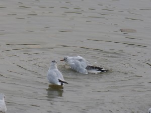 44 36 Mouette rieuse