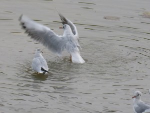 44 37 Mouette rieuse