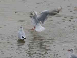 44 38 Mouette rieuse