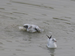 44 40 Mouette rieuse