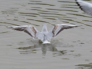 44 41 Mouette rieuse