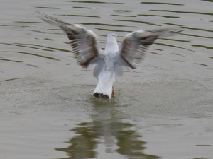 44 42 Mouette rieuse