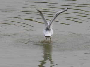 44 43 Mouette rieuse