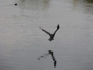48 50 Grand cormoran