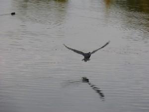 48 51 Grand cormoran