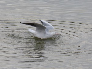 49 05 Mouette rieuse