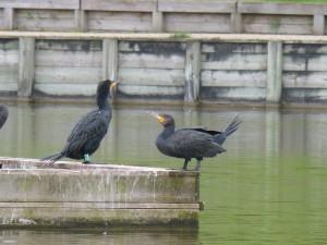 49 23 Grands cormorans