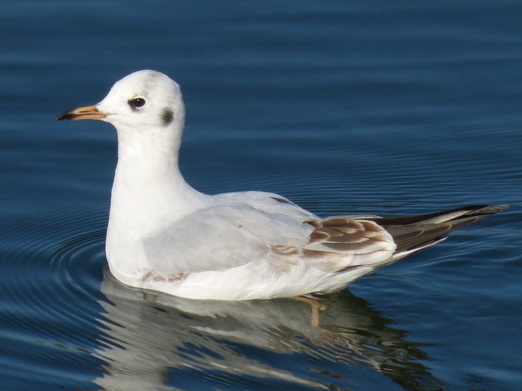 52 16 Mouette rieuse 1630071