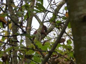 53 16 Ecureuil roux