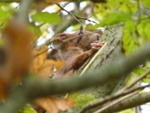 53 18 Ecureuil roux
