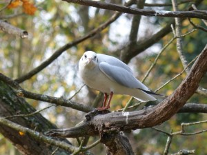 54 04 Mouette rieuse