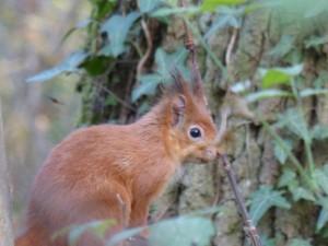 54 26 Ecureuil roux