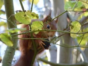 55 18 Ecureuil roux
