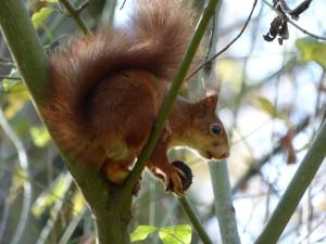55 19 Ecureuil roux