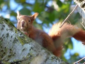57 07 Ecureuil roux