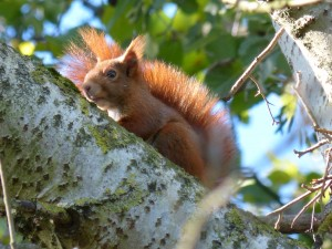 57 10 Ecureuil roux