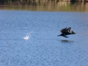 57 26 Grand cormoran