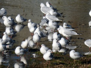 57 28 Mouettes rieuses
