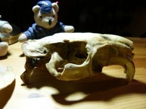 58 08 Crâne de ragondin vu de profil