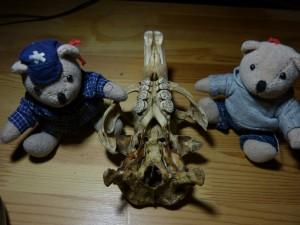 58 09 Crâne de ragondin vu de dessous