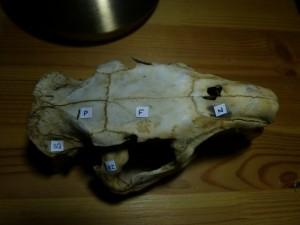 58 17 Crâne légendé de dessus
