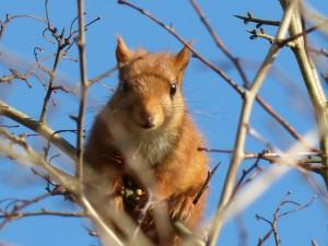 59 22 Ecureuil roux