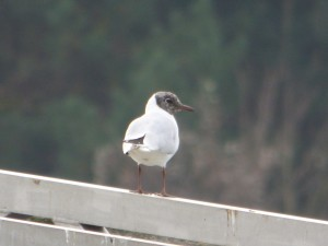 62 04 Mouette rieuse