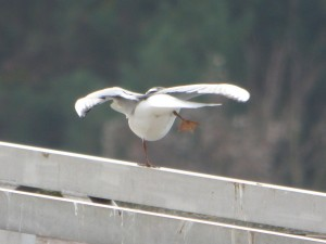 62 06 Mouette rieuse