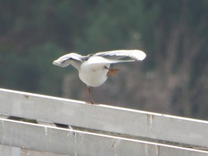 62 07 Mouette rieuse