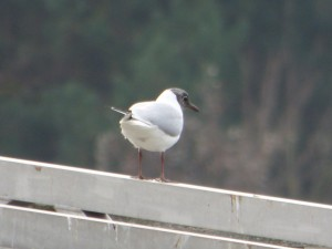 62 08 Mouette rieuse