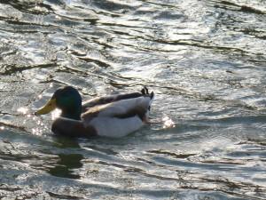 63 08 Canard colvert mâle