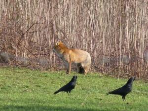 63 11 Le renard roux