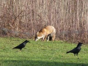 63 14 Le renard roux