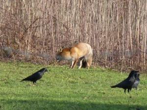 63 15 Le renard roux