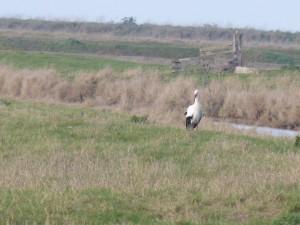 66 08 Une cigogne blanche