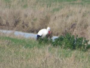 66 10 Une cigogne blanche