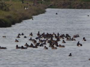 66 49 Canards siffleurs