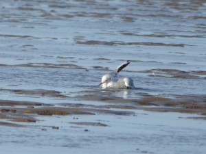 69 23 Mouette rieuse
