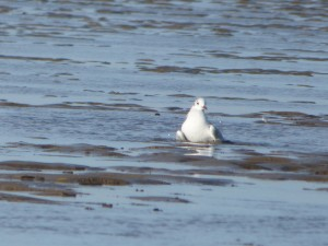 69 24 Mouette rieuse