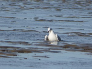 69 25 Mouette rieuse