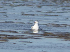 69 26 Mouette rieuse