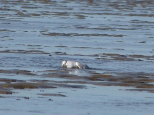 69 27 Mouette rieuse