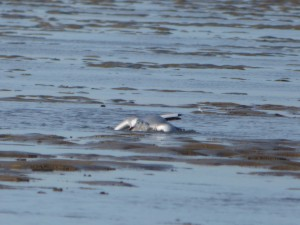 69 28 Mouette rieuse