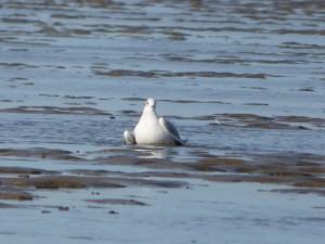 69 29 Mouette rieuse