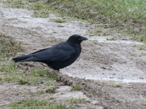 71 05 Corneille noire