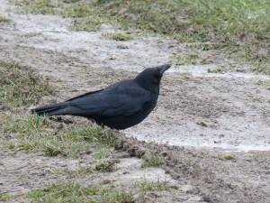 71 06 Corneille noire