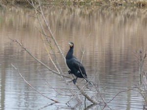 71 48 Grand cormoran
