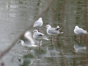 71 52 Mouettes rieuses