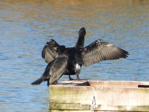 72 12 Grand cormoran